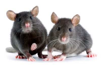 Amazing home remedies to get rid of Rats